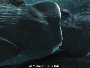 Bumphead in Sipadan. by Mehmet Salih Bilal 